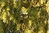 Fuglekonge (Steenjep) Tags: vinter winter frost frozen rim plante plant regulusregulus goldcrest fuglekonge gran pine