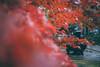 豪德寺|東京 Tokyo (里卡豆) Tags: setagayaku tōkyōto 日本 jp bunkyōku minatoku olympus penf 25mm f12 pro olympus25 olympus25mmf12pro 關東 japan kanto 東京 東京都 東京市 豪德寺 雨天