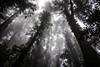 When the Fog Sets In (*ScottyO*) Tags: dorrigo nsw newsouthwales australia rainforest forest rain fog mist trees canopy tree ferm vines palms leaves trunk branches outdoor nature landscape monochrome blackandwhite bw jungle