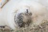 Seal (Matt Hazleton) Tags: seal greyseal halichoerusgrypus mammal animal outdoor wildlife nature canon100400mm canoneos7dmk2 canon eos 7dmk2 100400mm matthazleton matthazphoto donnanook lincolnshirewildlifetrust lincolnshire