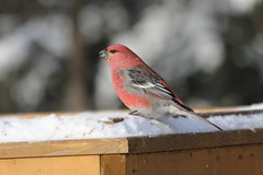 Pine Grosbeak (Pinicola enucleator) (Gerald (Wayne) Prout) Tags: pinegrosbeak pinicolaenucleator passeriformes fringillidae animalia aves chordata pinicola enucleator herseylakeconservationarea cityoftimmins northernontario northeastern ontario canada prout geraldwayneprout canon canoneos60d eos 60d digital camera photographed photography pine grosbeak birds animals wildlife nature conservationarea conservation area herseylake hersey lake timmins city trees snow winter trails birding walking hiking snowshowing skiing crosscountry feeders seeds