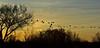 Sandhill Cranes (Grus/Antigone canadensis) flying in the morning light at the Bosque del Apache National Wildlife Refuge.  New Mexico, USA. (cbrozek21) Tags: antigonecanadensis sandhillcrane bosquedelapache crane cranesflying sky tree treesilhouette morningsky nature morninglight gruscanadensis pentaxart flickrtravelaward flickrunitedaward