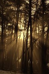 sunlight through the trees (lijntje1612) Tags: forest kootwijk