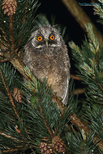 Long-eared Owl, Asio otus