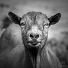 Bjoern (Bluespete) Tags: 1x1 animal bw blackwhite goat monochrome portrait sw schwarzweiss square tier ultrataglte20deen umwelt ziege ziegenbock exif:focallength=190mm exif:model=nikond750 camera:make=nikon exif:isospeed=320 exif:make=nikon exif:lens=tamronsp70300mmf456divcusda005n camera:model=nikond750 geolocation exif:aperture=ƒ63