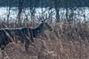 PokerBuck (jmishefske) Tags: wehr december nikon nature d500 center whitnall milwaukee franklin 2017 wildlife rack wisconsin park antler buck deer whitetail