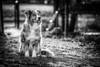 Portrait in the garden (Juhwie_Fotography) Tags: portrait dog pet aussie australienshepherd garden bokeh mybestfriend samyang bw sw blackandwhite blackwhite monochrome animals franken franconia bavaria bayern germany beautifulgermany pentax pentaxart ngc ricohimaging k1