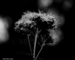 Thistles In Black & White