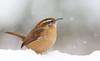 Week 1 Vision:New Year (arlene sopranzetti) Tags: snow dogwood2018 carolina wren winter