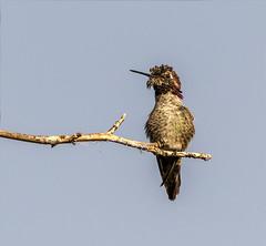 P52 44-52 Anna's Hummingbird (S M Ortiz) Tags: male anna'shummingbird calypteanna shariortizphotography northerncalifornia canoneos7dmarkiidslrcamera canonef100400mmf4556lisiiusmlens pscc2017 birdphotography birding birdsinthewild birdsofnorthamerica nature naturephotography 2017 anna'shummingbird