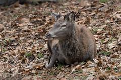 Daguet aux châtaignes - 2017-12-30 (marczoccarato) Tags: france wildlife nature nikond850 nikkor500f4e foret biche daguet cerfelaphe faon ariege oiseau bird mesangecharboniere