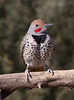 Male Gilded Flicker (cindyslater) Tags: bird goldenvalleyaz arizona wildlife gildedflicker cindyslater animal
