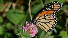 Monarch Butterfly 432 - Danaus Plexippus (Chrisser) Tags: insects insect butterflies butterfly monarch danausplexippus nature ontario canada canoneosrebelt6i canonef75300mmf456iiiusmlens nymphalidae