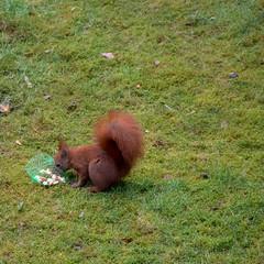 Eichhörnchen 01 (p.schmal) Tags: olympuspenf hamburg farmsenberne eichhörnchen
