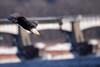 American Bald Eagle Dive [3162] (cl.lin) Tags: americanbaldeagle eagle nature bird lockanddam14 mississippiriver leclaire iowa