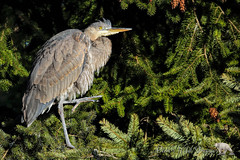One Legged Pose (PamsWildImages) Tags: greatblueheron bird bc britishcolumbia beautiful canada canon nature naturephotographer wildlife wildlifephotographer pamswildimages pammullins