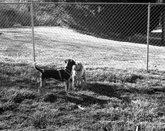New Friends (Meleager) Tags: ilford delta100 iso100 bw black white film hanover county virginia dog park koniomega 6x7 rapid100
