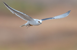 White-tailed Kite with vole (X7A_8507-1)