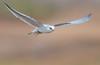White-tailed Kite with vole (X7A_8507-1) (Eric SF) Tags: whitetailedkite kite raptor vole coyotehillsregionalpark fremont california