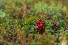 Stone bramble (Rubus saxatilis), White Sea (hikuta) Tags: bramble stone rubus rubussaxatilis fruits berry wild karelia white sea macro saxatilis