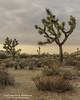 Joshua Tree NP (dtredinnick13) Tags: nationalparks naturephotography natural nature joshuatreenationalpark landscape desert california landscapephotography landscapes highdesert desertsouthwest twentyninepalms joshuatree nikon nikond800 nikon2470