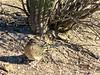 Fearless Road Runner-14 (Chic Bee) Tags: camouflage shadow roadrunner bird sabinocanyon nature naturewalk catalinamountains tucson arizona southwesternusa americansouthwest america interesting