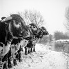 Just Opposite Primark (Barnaby Nutt) Tags: cow cossington meadows snow river soar yashica 124 ilford fp4 ilfotec hc