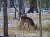 Deer in the Dusting (clarkcg photography) Tags: deer doe snow dusting light dawn morning cloudy lowlight nikonb700 animal mammal fur whitetail fauna 7dwf holidayfreetheme