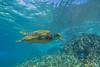 turtle1Nov18-17 (divindk) Tags: cheloniamydas hawaii hawaiianislands maui underwater diverdoug endangeredspecies greenseaturtle marine ocean reef sea seaturtle turtle underwaterphotography