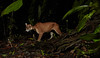 Puma (Puma concolor) (pbertner) Tags: amazon cat ecuador feline felisconcolor mammal puma rainforest sanilodge saniproject2017 southamerica yasuninationalpark