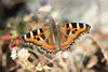 Indian Tortoiseshell - Aglais caschmirensis (Roger Wasley) Tags: indiantortoiseshell aglaiscaschmirensis lava westbengal india butterfly butterflies insect asia indian himalayas