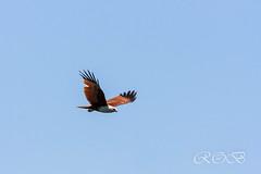 Malaysia-14634.jpg (CitizenOfSeoul) Tags: malaysia pulaulangkawi wildlife see langkawi andamanensee outdoor wildlebendetiere animal eagle adler