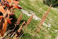 Aloe 12mar17 II (time_anchor) Tags: mygarden aloe aloevera succculents desertgardening redflowers redinflorescence edible medicinalplants