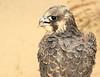 Peregrine Falcon (helmutnc) Tags: hennysanimals hg specanimal sweetfreedom