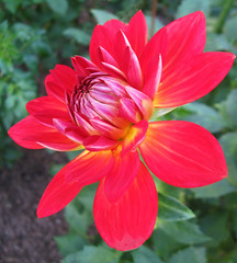 Red Beauty (Puzzler4879) Tags: flowers reddahlias redflowers bayardcuttingarboretum bayardcuttingarboretumstatepark a580 canona580 powershot canonpowershot powershota580