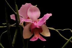 Vanda teres (srorquídeas) Tags: vanda teres orquídea exótica peculiar diferente orchidaceae orchids ornamental orchidée mostrando língua rabo de peixe