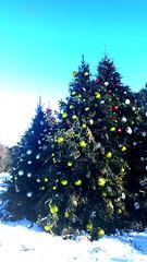 NYBG Christmas Trees I (joeclin) Tags: northamerica america unitedstates usa newyork ny newyorkcity nyc bronx outdoor color amateur 2010s iphoneography iphone trees ornaments christmas newyorkbotanicalgarden holidaytrainshow evergreens snow belmont appleiphone7