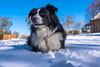 DSC_3756 (capt_tain Tom) Tags: austrailianshepherd aussie animallife snow doginsnow snowdog dogs dog cattledog canine