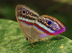 Euselasia orba (hippobosca) Tags: butterfly peru riodinidae euselasiaorba insect lepidoptera macro