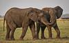 Hug time (NettyA) Tags: 2017 africa botswana chobenationalpark elephants hugging wildlife animals trunks