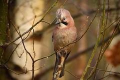 Sid (_J @BRX) Tags: cromwellbottomnaturereserve cromwellbottom elland brighouse calderdale yorkshire england uk naturereserve woodland december2017 winter bird jay nikon d5200 punk