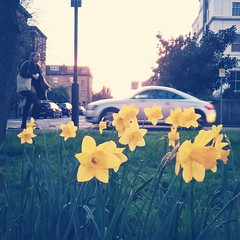 Trumpeting spring (Daniel James Greenwood) Tags: nokialumia phonephoto mobilephonephotos danielgreenwood danielgreenwoodphotography instagramphotography instagram