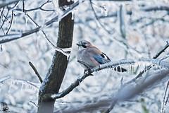Garrulus glandarius (nonnogrizzly) Tags: garrulusglandarius ghiandaia ghiaccio galaverna freddo inverno fauna uccello aves natura bosco