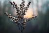 Silently (ursulamller900) Tags: pentacon2829 seeds sunset sonnenuntergang bokeh winter