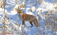 Red Fox. Vulpes vulpes. (rumerbob) Tags: redfox fox animal nature naturewatcher wildlife wildlifewatcher canon7dmarkii canon100400mmlens