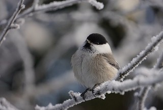 Willow Tit on frosty twig.