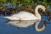Swan (deltic17) Tags: swan swans cygnet bird wildlife wild country countryside lake river winter reflection rspb canon photography photo