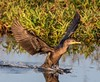 Double-crested cormorant times a perfect landing. (Rickfans76) Tags: cormorant doublecrestedcormorant animals birds circlebbarreserve florida nikond500 nikon rickfanslerphotography nature wildlife wildlifephotography