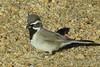 IMG_2547 (steph_abegg) Tags: 2017 bird california identified notmyphotos