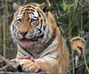 amurtiger Ilya Amersfoort BB2A1651 (j.a.kok) Tags: tijger tiger amurtiger amersfoort amoertijger pantheratigrisaltaica animal kat cat mammal zoogdier dier asia azie predator ilya